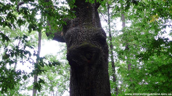 Химерні форми дуба в ур. Криниченька