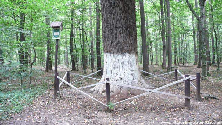 Старовинний дуб в урочищі Криниченька за Поташні
